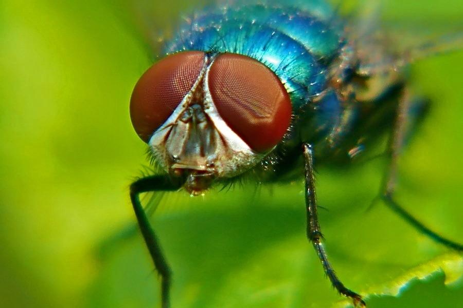 Blaue Aasfliege
