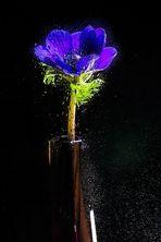 Blaue Anemone 2