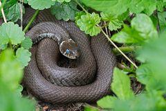 blaue Augen (Natrix natrix)