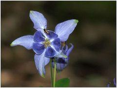 Blaue Blüte ...