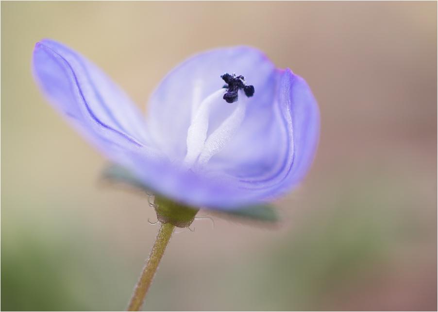 Blaue Blüte