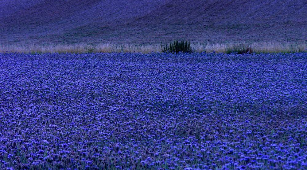 ...blaue Blüten zur blauen Stunde...