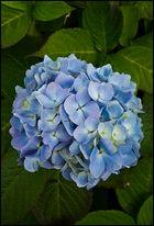 Blaue Blütenschönheit