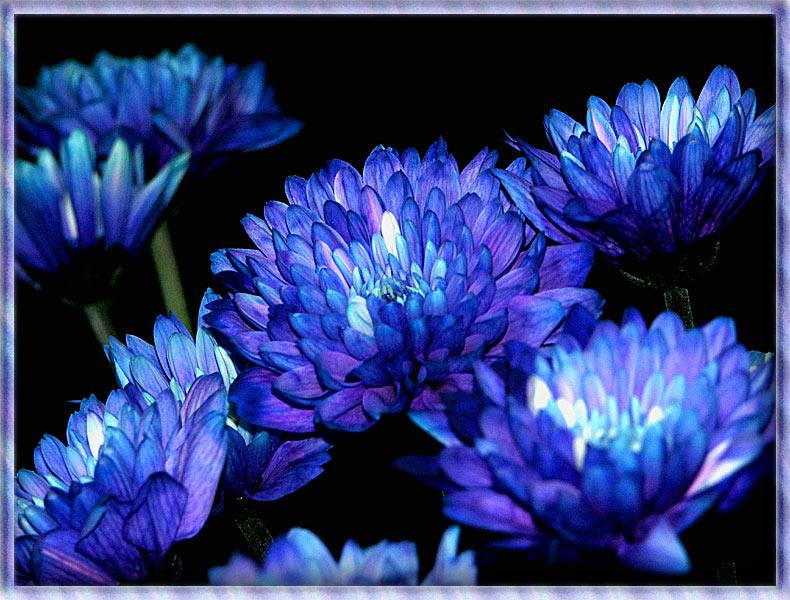 Hintergrundbilder Blaue Blume: Pflanzen, Pilze & Flechten