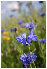 Blaue Blumen - Blue Flowers III