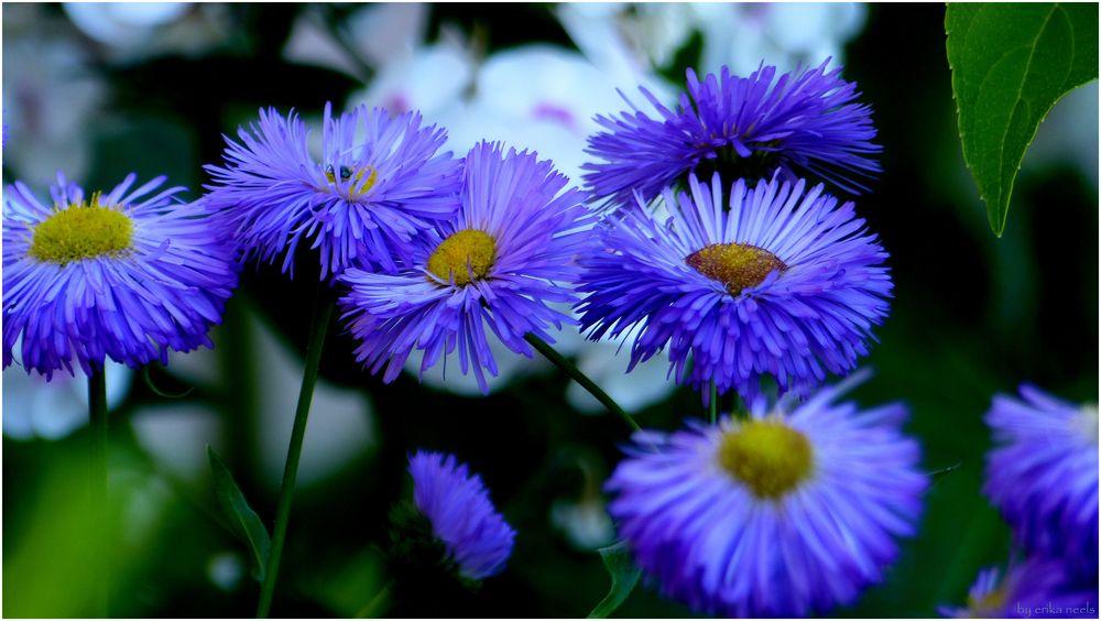 Blaue Blumen haben für mich einen besonderen Reiz