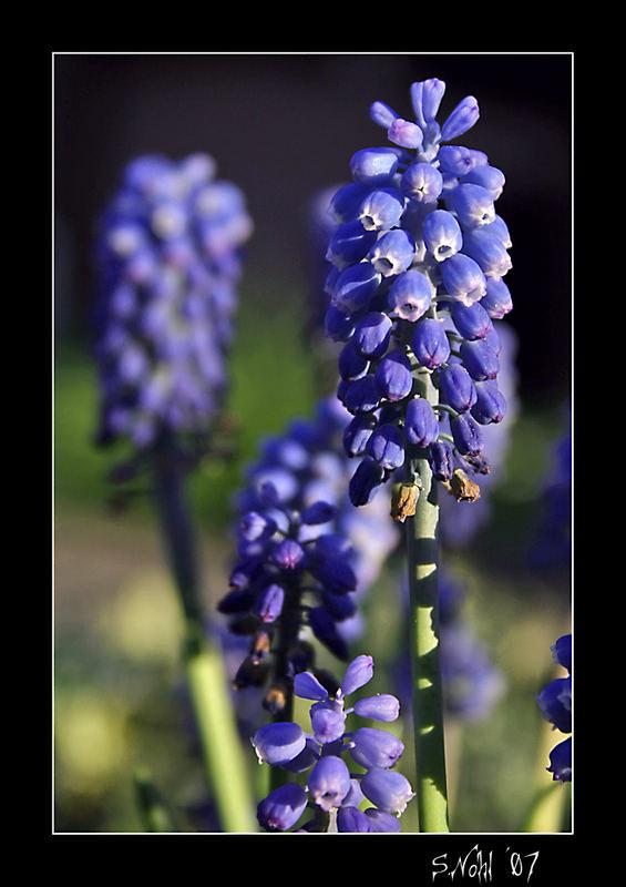 blaue Blumen im Garten Foto & Bild | pflanzen, pilze & flechten ...