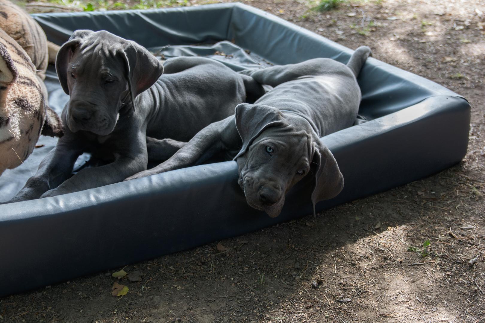 blaue Doggenwelpen