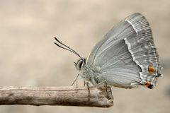 Blaue Eichenzipfelfalter  -1-