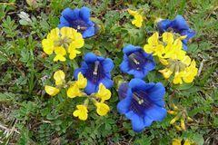 Blaue Enziane