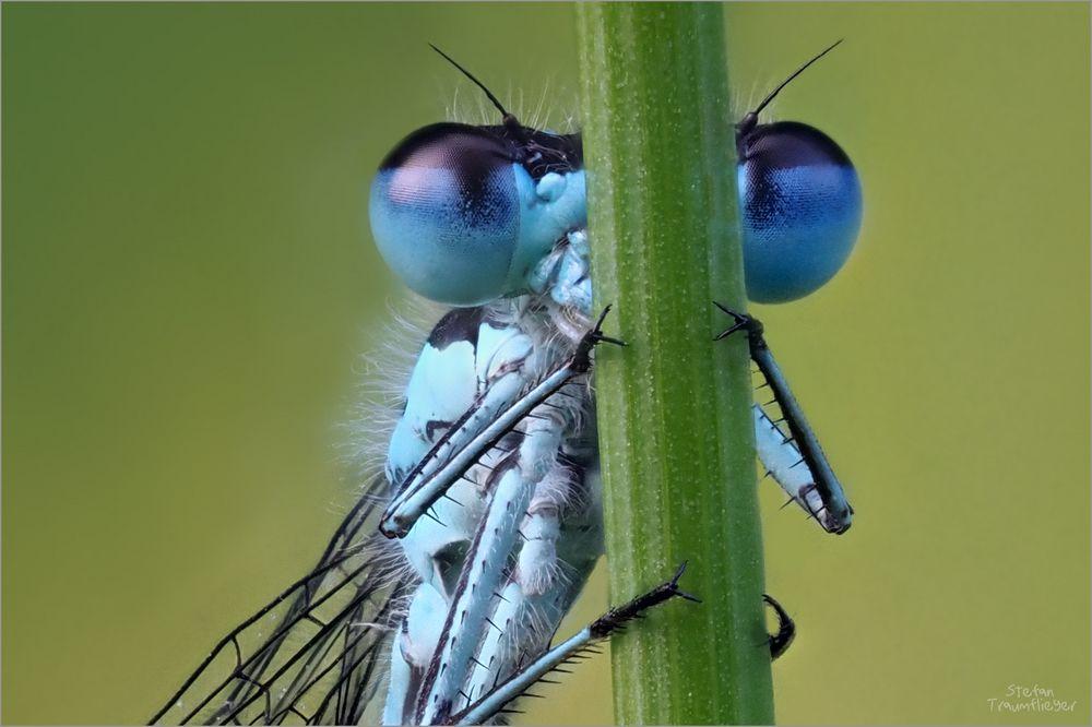 blaue Federlibelle Detail