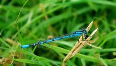 Blaue Federlibelle (Männchen)