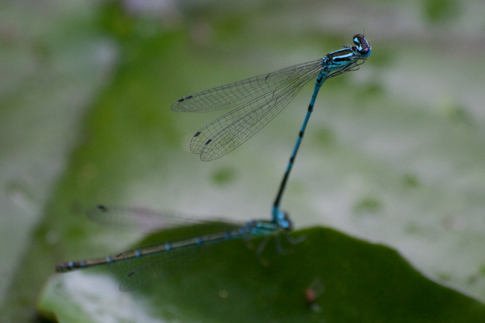 Blaue Federlibellen