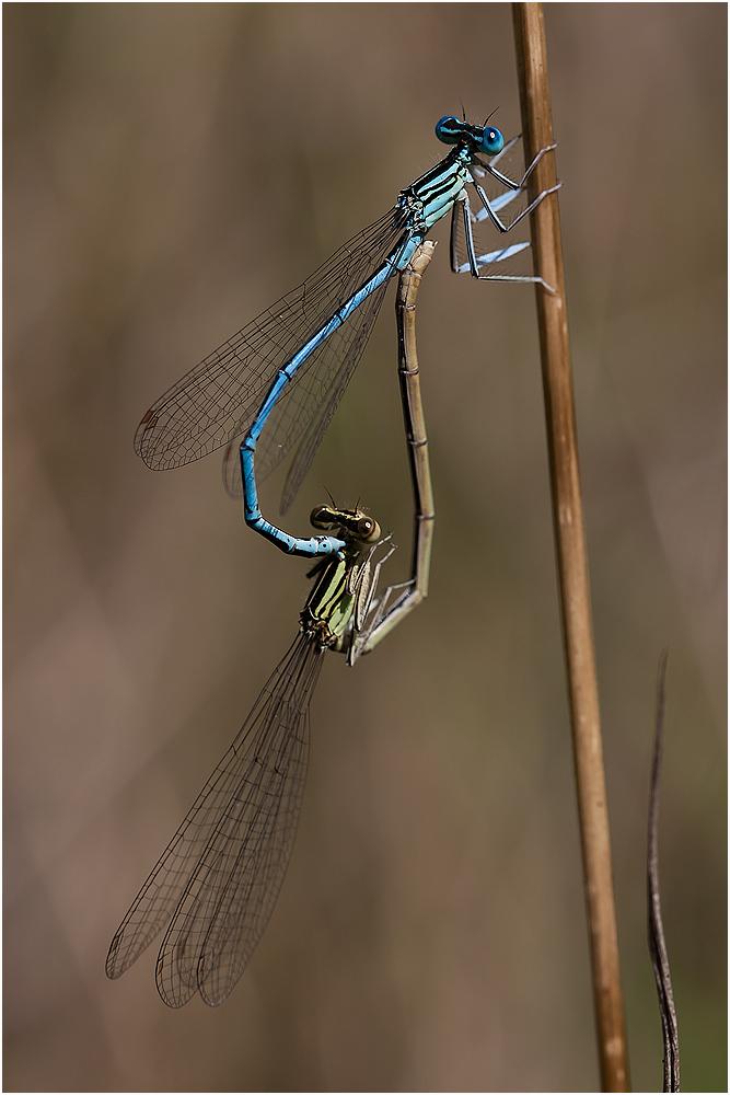 Blaue Federlibellen bei der Paarung?