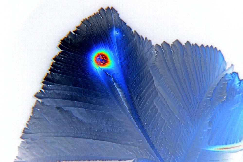 - blaue Federn -