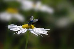 Blaue Fliege