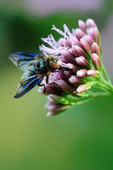 blaue Flügel