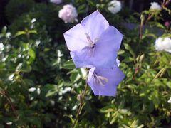 blaue Glockenblume