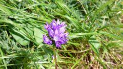 blaue Glockenblumen in den Abruzzen