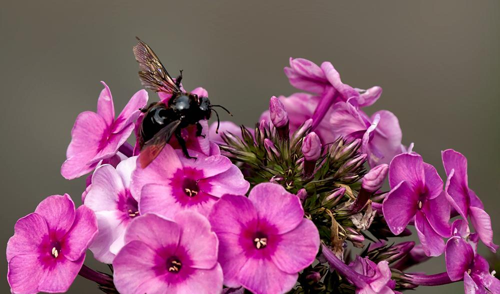 Blaue Holzbiene auf den Blüten einer Flammenblume!