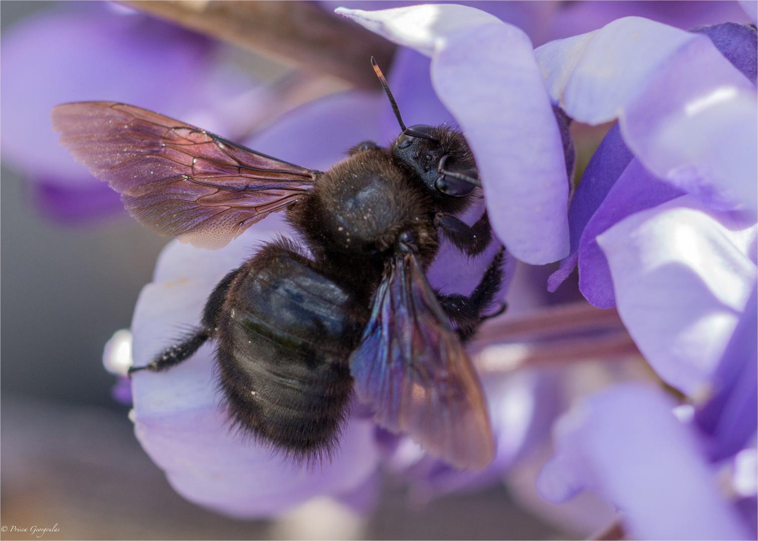 Blaue Holzbiene - Xylocopa violacea