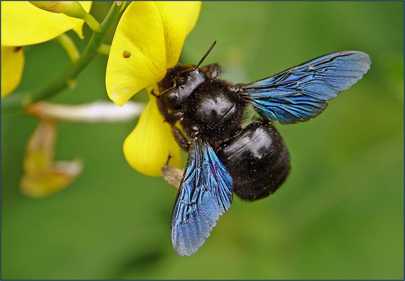 ~~ Blaue Holzbiene (Xylocopa violacea) ~~