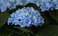 Blaue Hortensien...