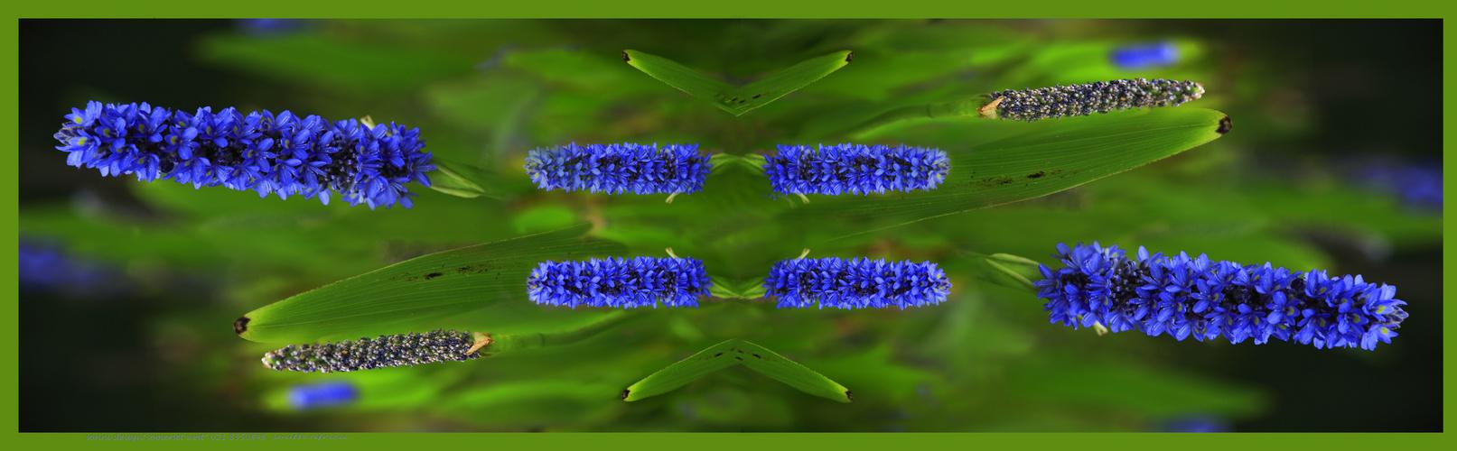 Blaue Kerze Blüte