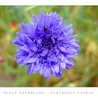 blaue kornblume foto bild pflanzen pilze flechten bl ten kleinpflanzen pflanzen. Black Bedroom Furniture Sets. Home Design Ideas