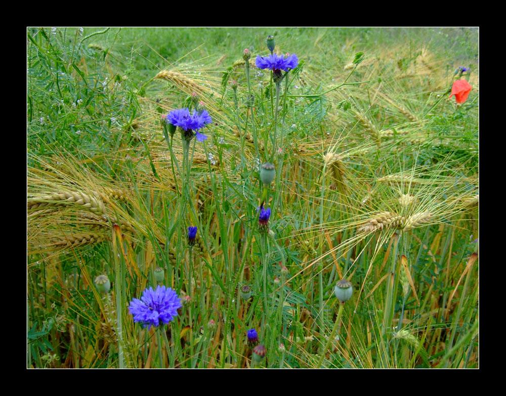 Blaue Kornblumen im Kornfeld