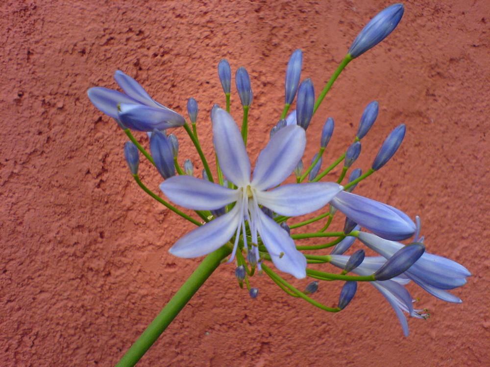 blaue Kugellilie
