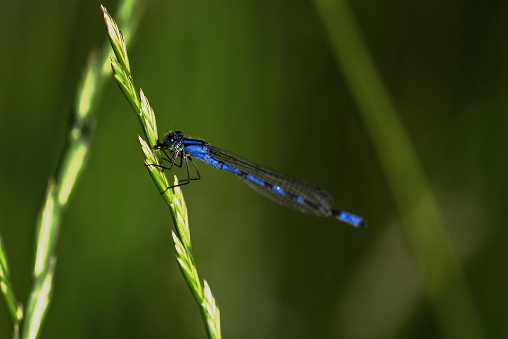 Blaue Libelle bei der Nahrungsaufnahme