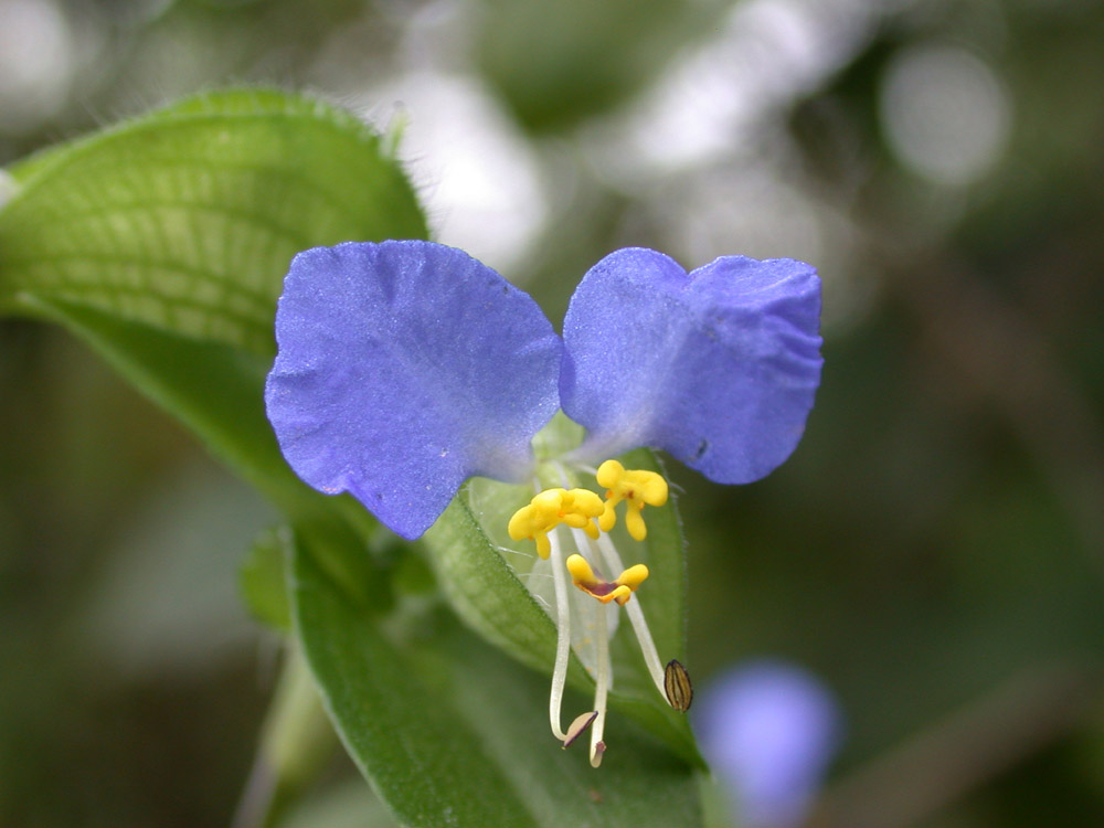 Blaue Miniblume