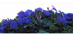blaue Mittwochsblümchen