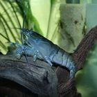 Blaue Monsterfächergarnele