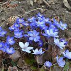 blaue Montagsblümchen