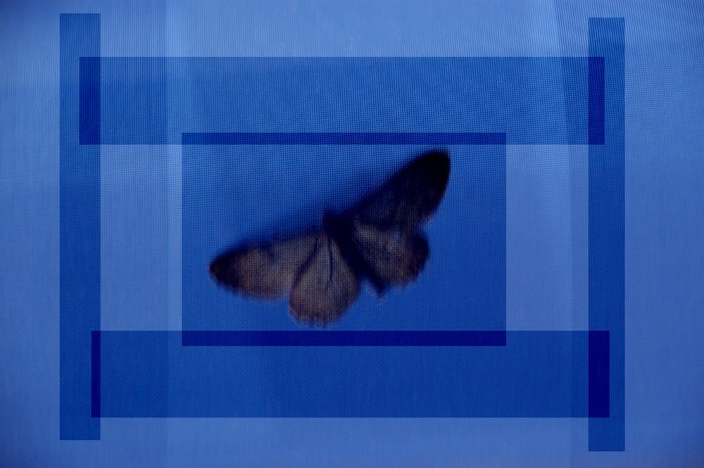 Blaue Motte