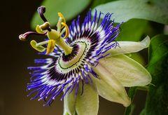 Blaue Passionsblume