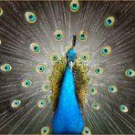 Blaue Pfau