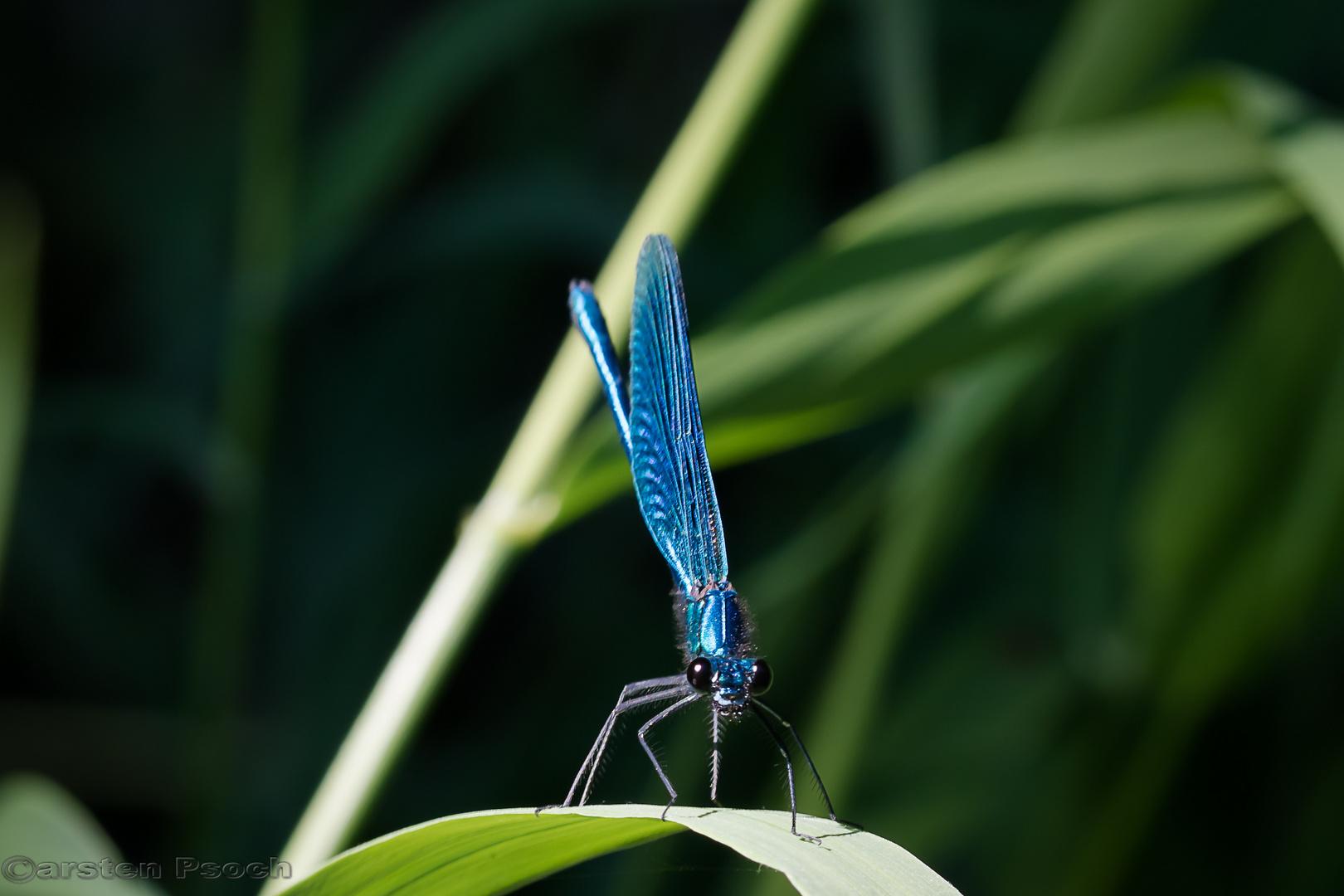 Blaue Prachtlibelle