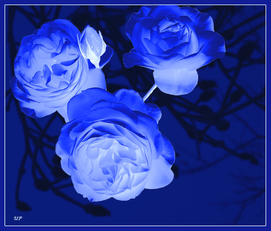 Blaue Rosen?