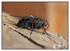 Blaue Schmeißfliege (Calliphora vomitoria) beim Sonnenbad
