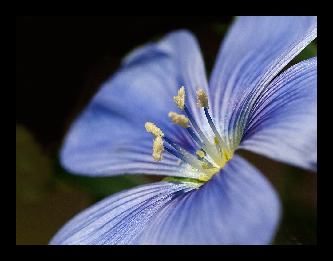 Blaue Schönheit / Lein