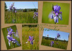 Blaue Sumpf-Schwertlilie (Iris Versicolor)