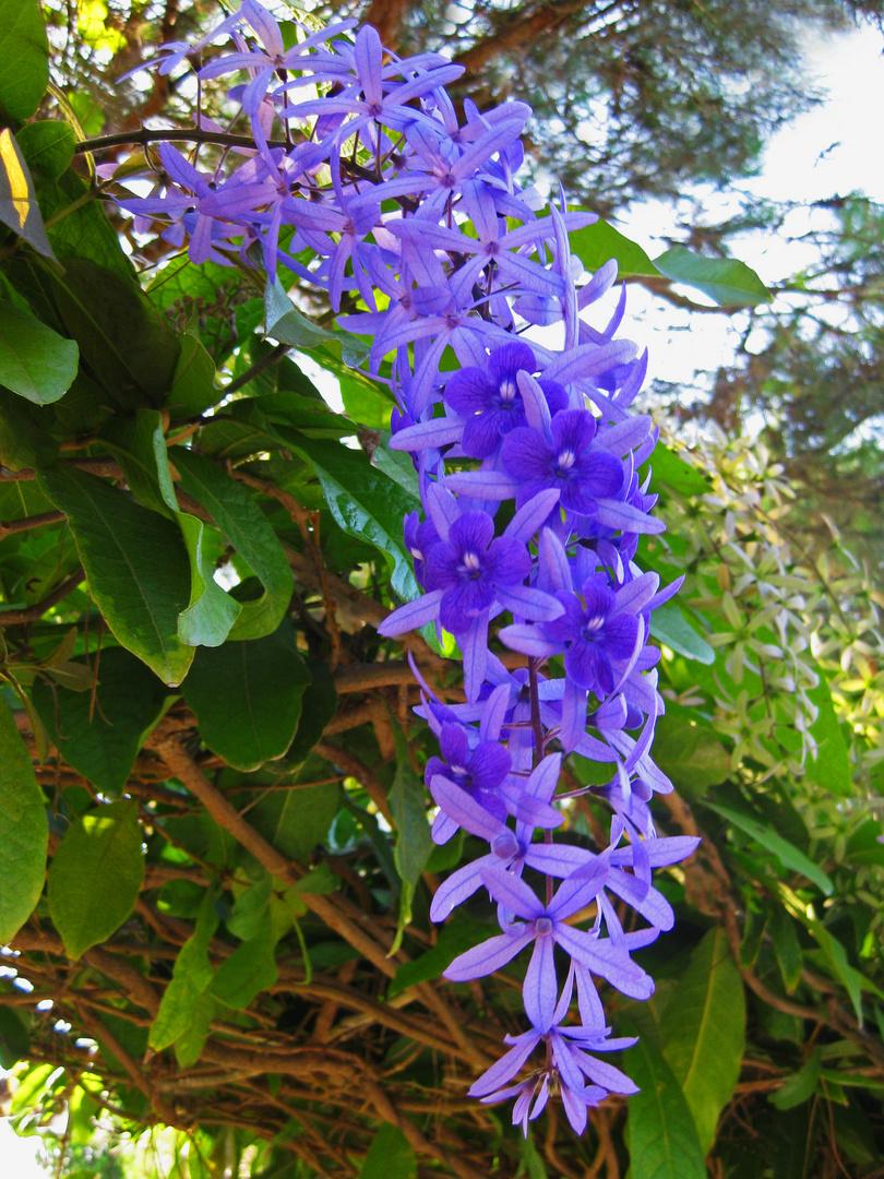 blaue trauben foto bild pflanzen pilze flechten bl ten kleinpflanzen orchideen. Black Bedroom Furniture Sets. Home Design Ideas