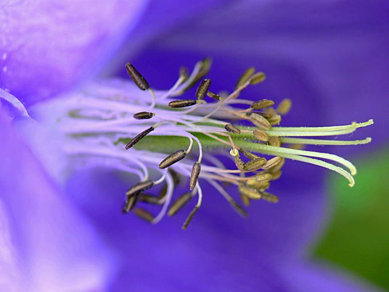 blaue unbekannte Schönheit