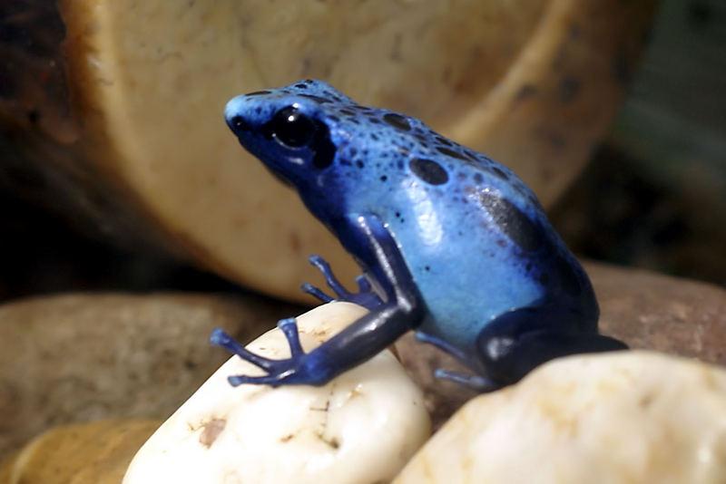 Blauer Baumsteigerfrosch