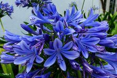Blauer Blütenzauber in der Gruga Essen