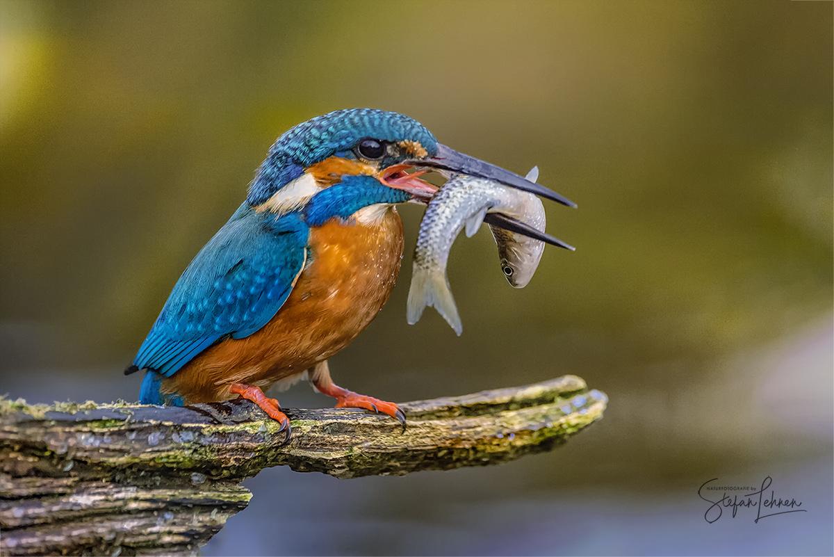 Blauer Edelstein - Eisvogel