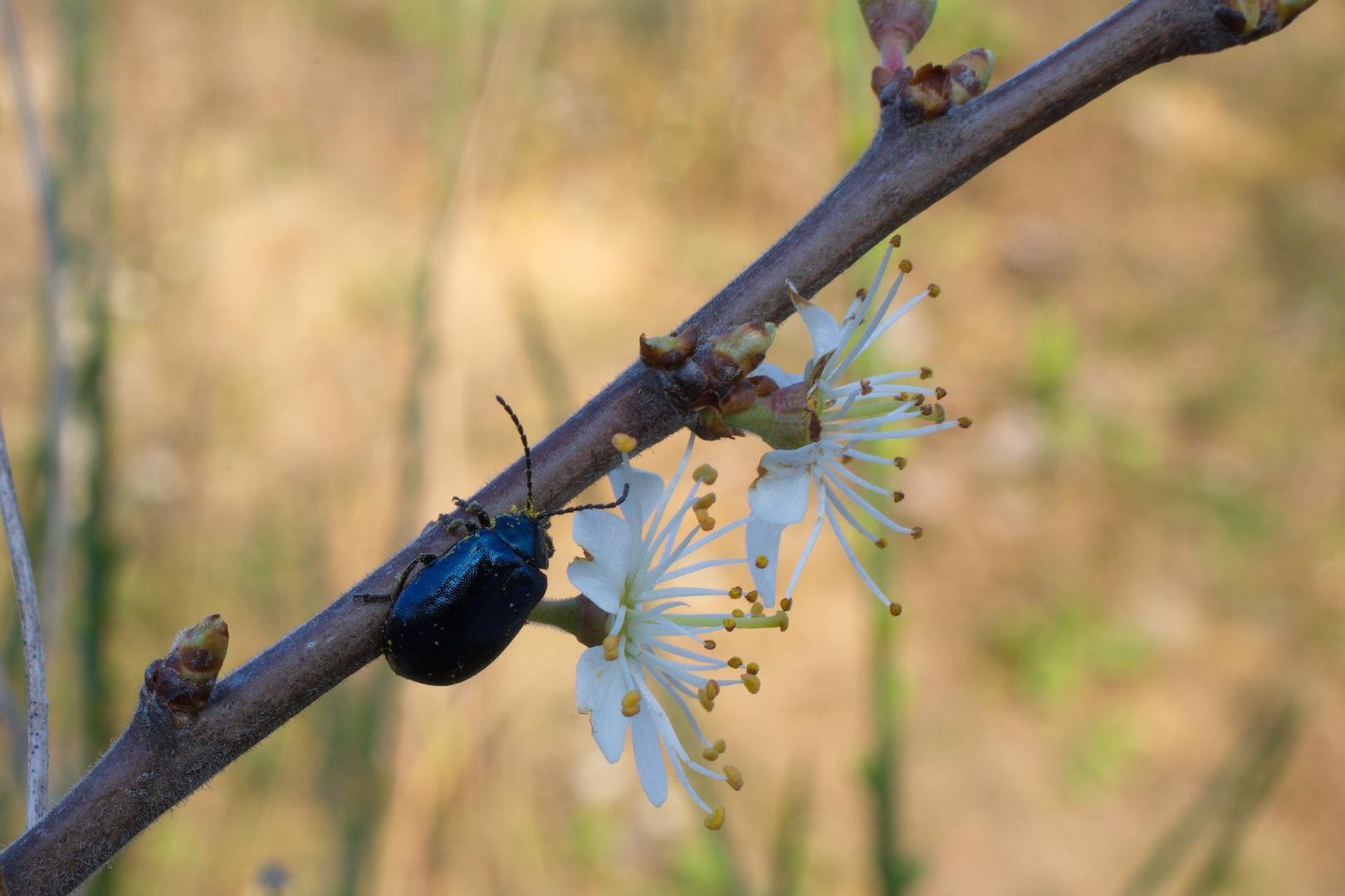 Blauer Erlenblattkäfer